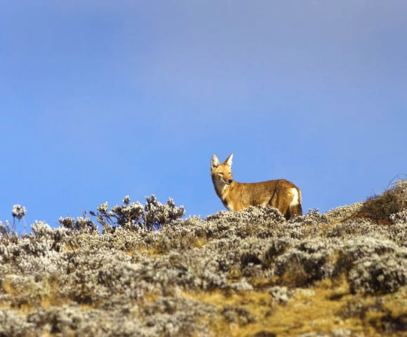 Wildlife in the Simien Mountains National Park