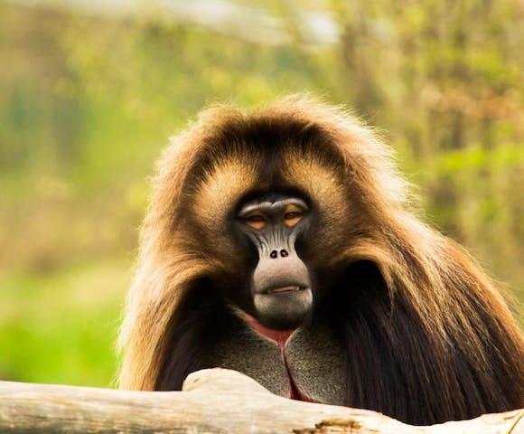 Gelada Monkey in the Simien Mountains