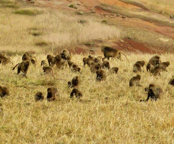Field of Gelada Monkeys in the Simien Mountains