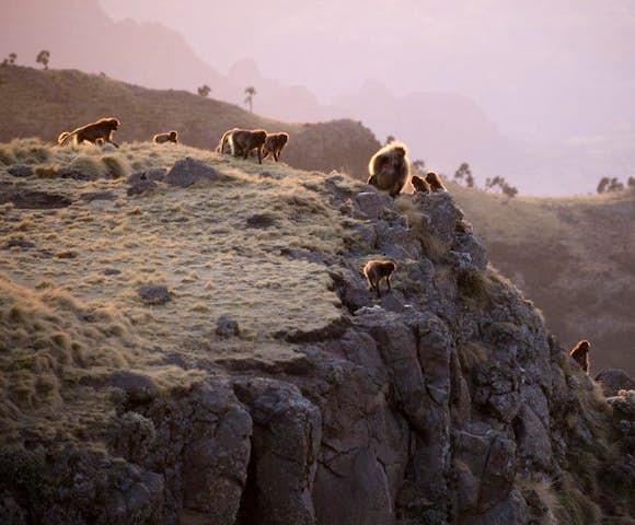 Gelada Monkeys on cliff edge in the Simien Mountains