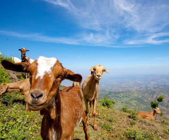 Mountains goats looking at camera in front of view of landscape in the Simien Mountains