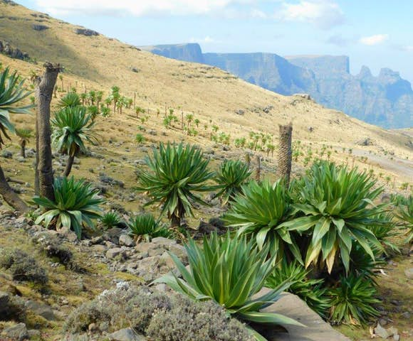 Field of Lobelia Trees in the Simien Mountains