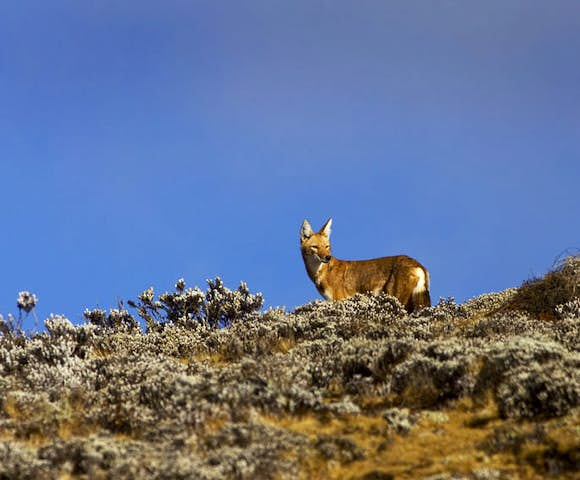 Ethiopian Wolf in the Simien Mountains National Park