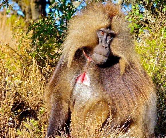 Close up of Gelada Monkey in the Simien Mountains