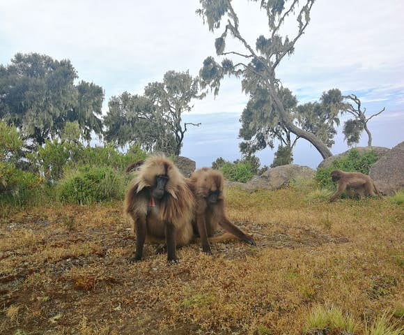 Three Gelada Monkeys in the Simien Mountains