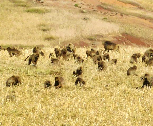 Group of Gelada Monkeys on a field in the Simien Mountains National Park