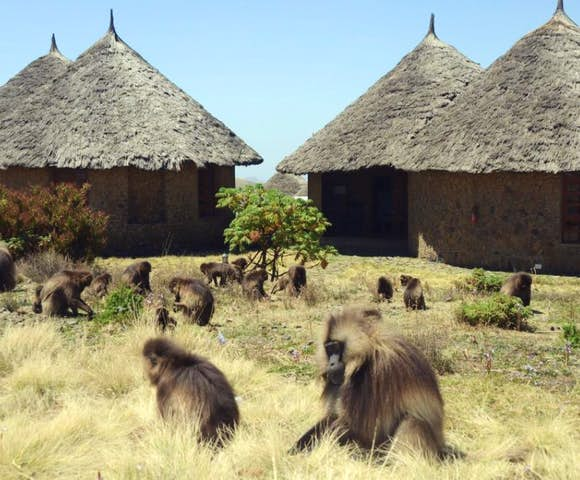 Gelada Monkeys in the Simien Mountains with the Simien Lodge in background