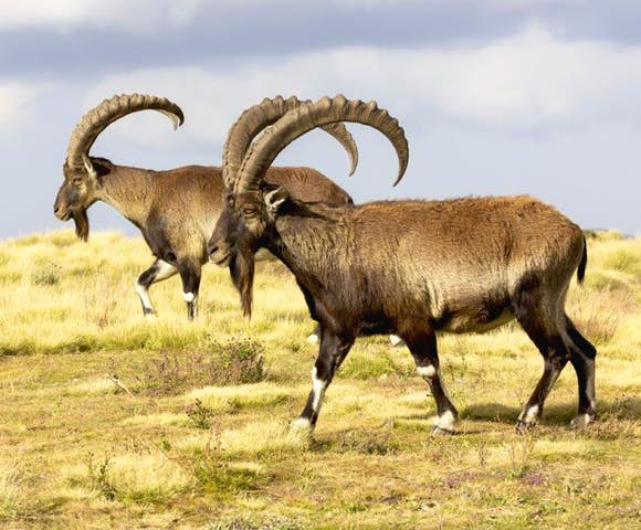 Close up of two Walia Ibex in the Simien Mountains
